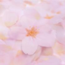Cherry blossom transparent sticky memo notes Small