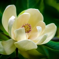 Magnolia Blossom Fragrance Oil