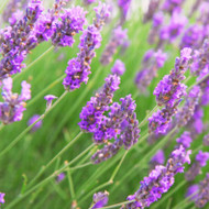 Lavender Vetiver Fragrance Oil