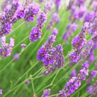 Lavender Vetiver Fragrance Oil