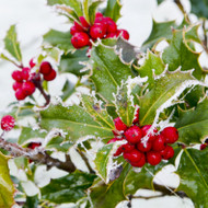 Winter Berry Fragrance Oil