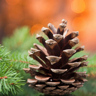 Roasted Pine Cone Fragrance Oil