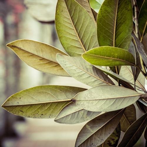 ... Tobacco u0026 Bay Leaf Fragrance Oil. Image 1 & Tobacco u0026 Bay Leaf Fragrance Oil