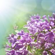 Garden Lilac Fragrance Oil