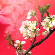 Japanese Cherry Blossom (Type) Fragrance Oil