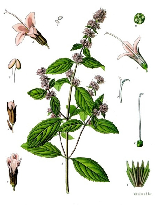 Botanical drawing of mentha piperita also known as peppermint