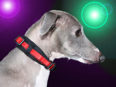 WHIPPETWEAR PUPPY MARTINGALE - perfect fit, stunning style ...