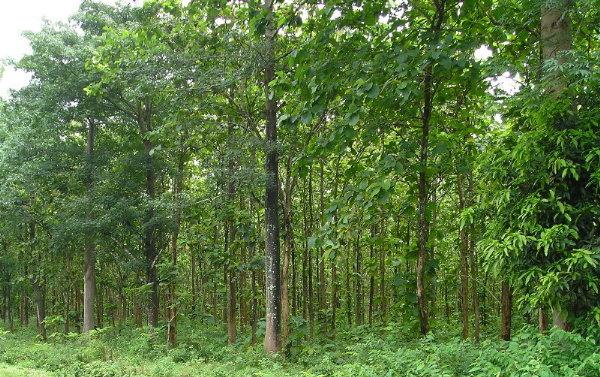 teak-trees-2011-1-600.jpg
