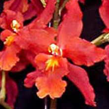 Wils. Pacific Panache 'Fire Side Fever'