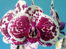 Phal Hsinying Song 'Aria' AM/OCNZ