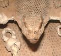 Nile Monitor Lizard Bag