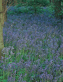 native_woodlands_bluebells