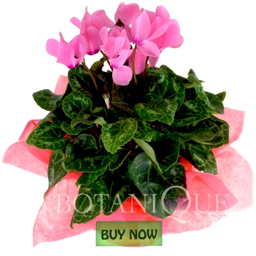 Flowering Plants Online Gold Coast Australia Botanique Flowers By