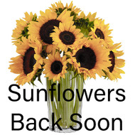 Sunflowers Coming Back Soon