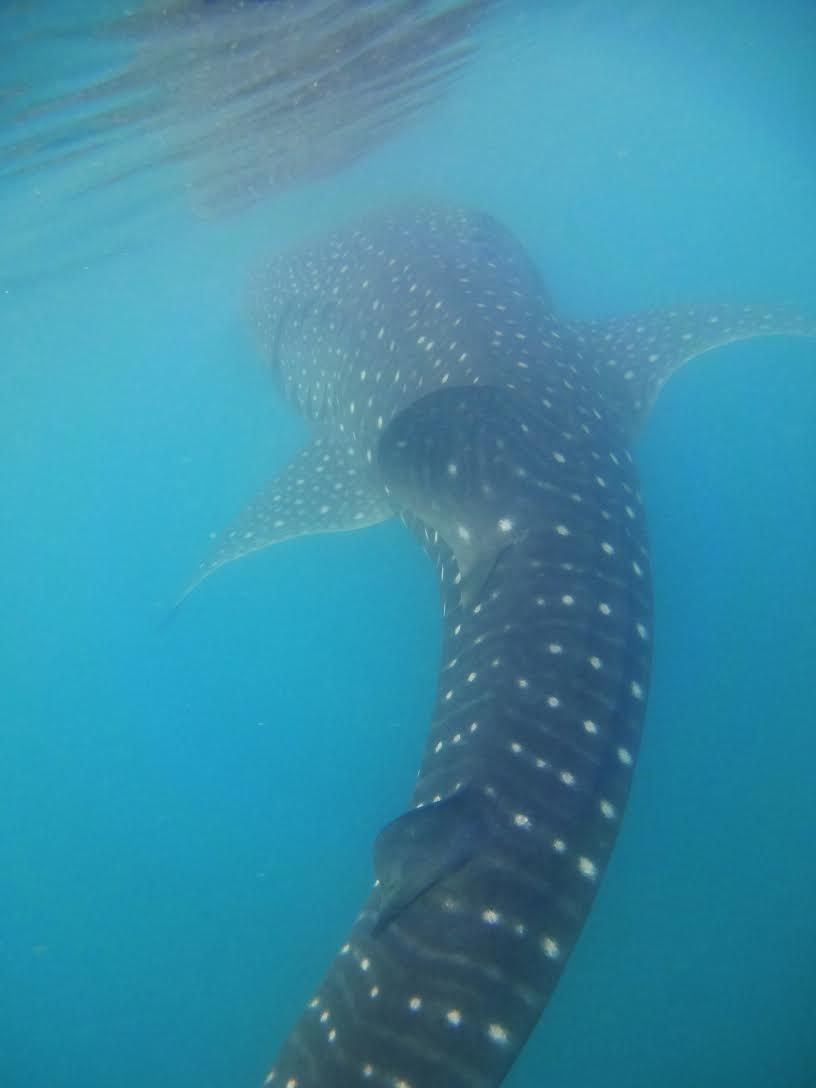 Swimming with the whale sharks - woah!