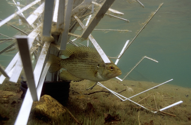 Rock Bass on shallow Cradle habitat by Fishiding.com