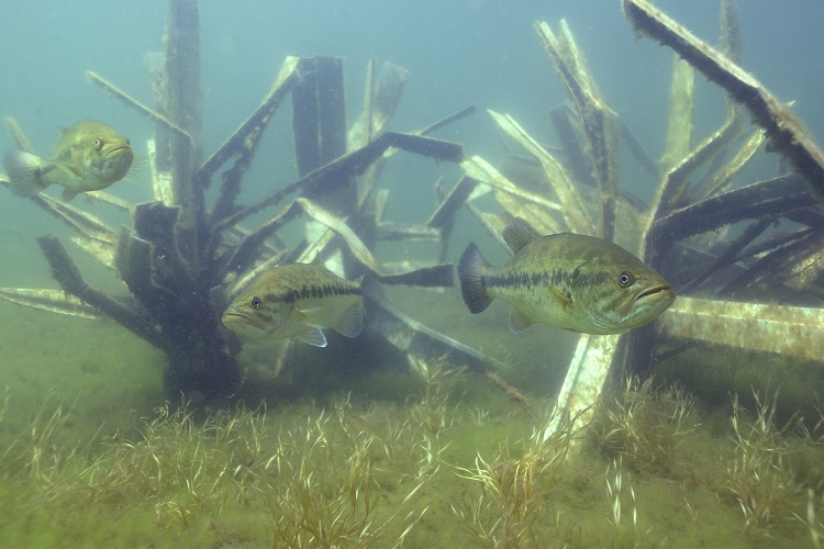 lake-anna-bass-on-fishiding-habitat.jpg