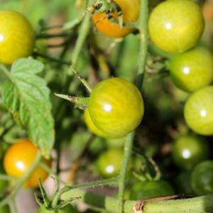 keyhole-tomatoes.jpg