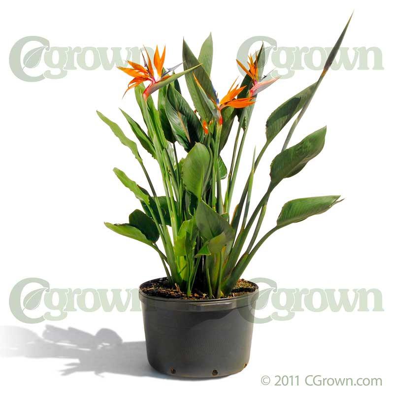 Orange Bird of Paradise - CGrown Container Grown Plants Davenport ...