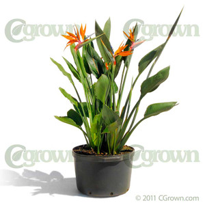 Orange Bird-of-Paradise from cGrown Nursery by Greg Davenport.  South African strelitzia reginae is related to bananas. Its unique orange and blue flowers are said to resemble a bright colored bird in flight.