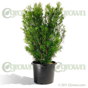 Podocarpus from cGrown Nursery by Greg Davenport.  Podocarpus are evergreen shrubs or trees from the conifer family. Some Podocarpus are grown as garden trees, or trained into hedges, espaliers, or screens. 10G shown.