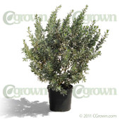Silver Buttonwood from cGrown Nursery by Greg Davenport.  This mangrove shrub, also known as Conocarpus erectus var sericeus, has silvery leaves - Silver Buttonwood is especially prized for landscaping. 10G shown.
