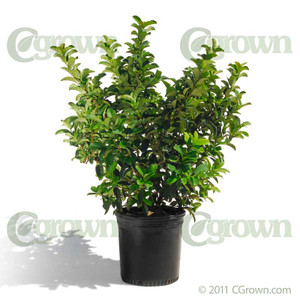 Viburnum Odors from cGrown Nursery by Greg Davenport.  Viburnum odoratissimum, or Sweet Viburnum, has large, leathery, dark green glossy leaves and extremely fragrant, small white flower clusters.