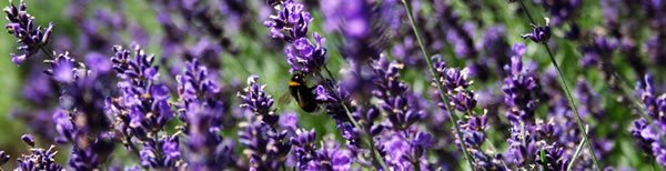 a-guide-to-lavender-essential-oil.jpg