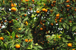 Pure Citrus Grove Fragrance Oil