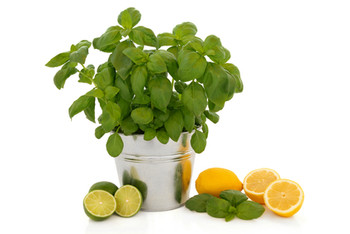 Pure Cool Citrus Basil Fragrance Oil