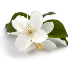 Pure Jasmine Fragrance Oil