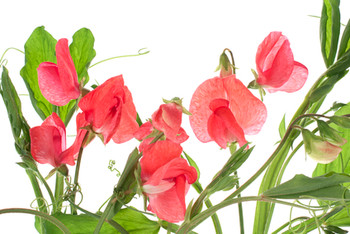 Pure Sweet Pea Fragrance Oil