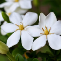 Pure Gardenia Fragrance Oil