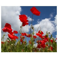 Pure Wild Poppy Fragrance Oil