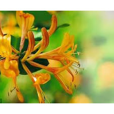 Pure Sweet Honeysuckle Fragrance Oil