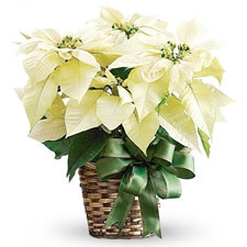 Pure White Poinsettia Fragrance Oil