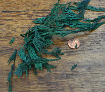 Cedar Tips - Green - Preserved