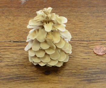 Cones - Bluepine - Bleached 2x