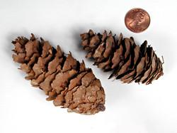 Cones - Douglas Fir