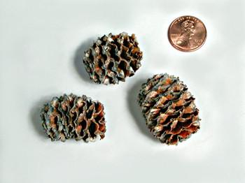 Cones - Meridianum - Sulphured