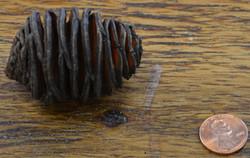 Cones - Platysporum - Large - Natural