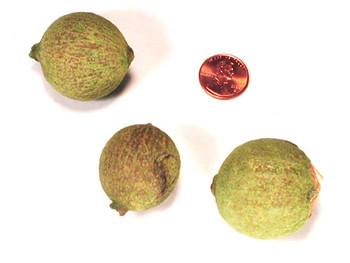 Gawri Fruit - Lime Green
