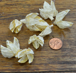 Hibiscus Pods - Bleached