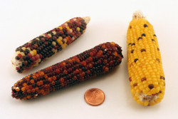 "Indian Corn (3""-6"") without Husks"