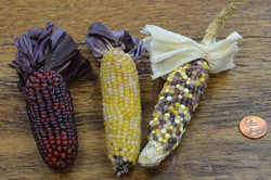 Indian Corn w/ husks - Natural