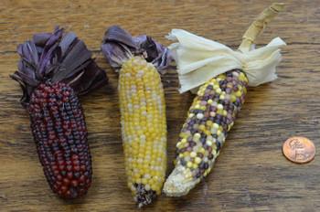 Indian Corn w/ husks - Natural