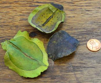 Jacaranda - Apple Green