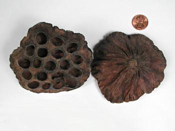 Lotus Pods Large - 8-10 cm Natural