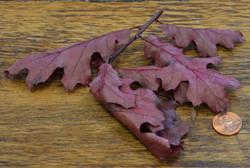 Oak Leaves - Red