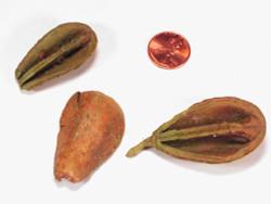 Pear Pod Halves - Light Green